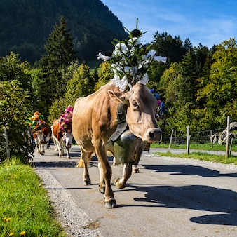 Transhumance-evenement in charmey