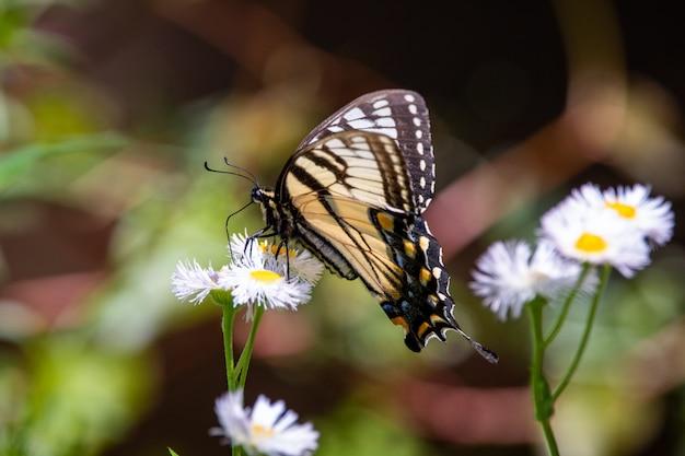 Transparante gevleugelde vlinder op een gele bloem in een vlindertuin in mindo, ecuador