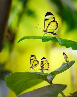 Transparante glazen vleugels vlinders op groene bladeren en gele achtergrond.