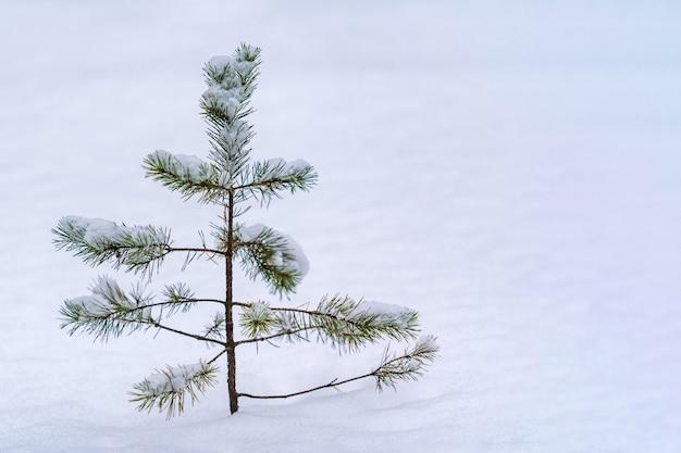 Treetop sparren over sneeuw in de winter