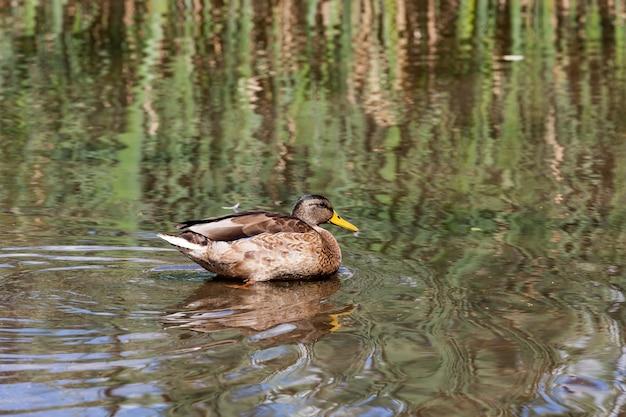 Trekkende wilde eenden in europese meren oost-europa met wilde eendenvogels grondgebied van meren en rivieren met vogels en eenden die daar leven