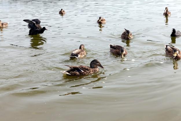 Trekkende wilde eenden in europese meren, oost-europa met wilde eendenvogels, grondgebied van meren en rivieren met vogels en eenden die daar leven