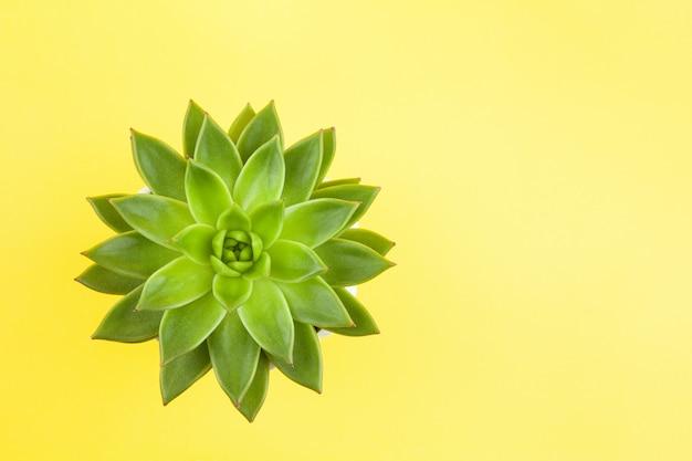 Trendy sappige haworthia cymbiformis close-up op gele achtergrond