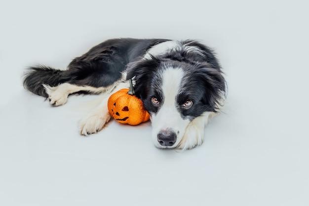 Trick or treat-concept. grappige puppy hond border collie met oranje pompoen jack o lantern liggen geïsoleerd op een witte achtergrond. voorbereiding voor halloween-feest.