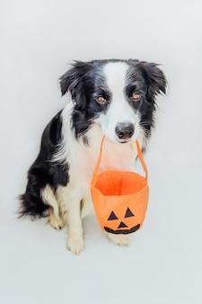Trick or treat-concept. grappige puppy hond border collie pompoen mand in mond houden geïsoleerd op een witte achtergrond. voorbereiding voor halloween-feest.
