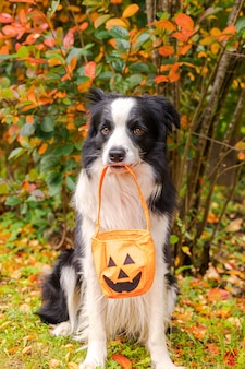 Trick or treat concept grappige puppy hond border collie pompoen mand in mond zittend op val...