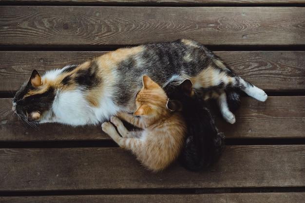 Tricolor kat met kittens