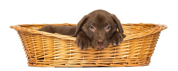 Triest labrador retriever puppy liggend in een rieten mand op wit wordt geïsoleerd