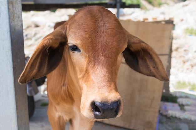 Triest schattig overstuur eenzaam kalf, jonge stier buitenshuis. gefrustreerd dier. dierenrechten. protest tegen dierenmishandeling, stop met doden. wordt veganist. arme dieren willen niet geslacht worden. gratis dieren concept