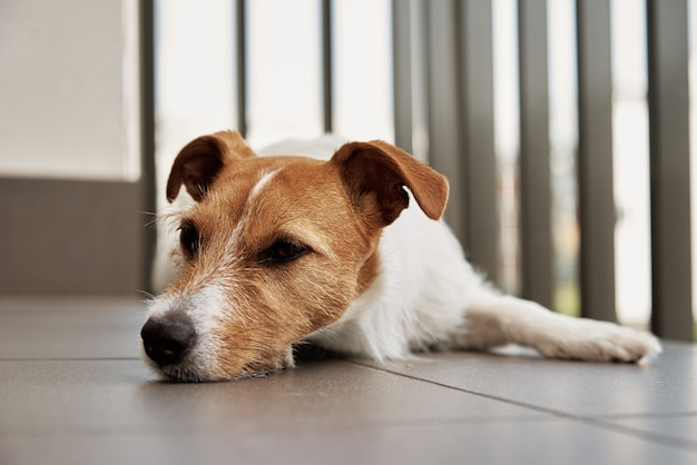 Triest vermoeide hond op de floow slapende jack russell terrier