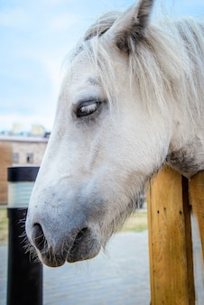 Triest witte pony hoofd close-up