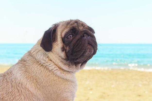 Trieste pug hond zit op het strand en kijkt naar de zee.