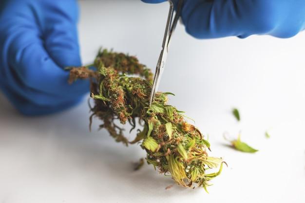 Trimmen en manicuren toppen cannabis. marihuanabladeren knippen met een schaar in medische handschoenen