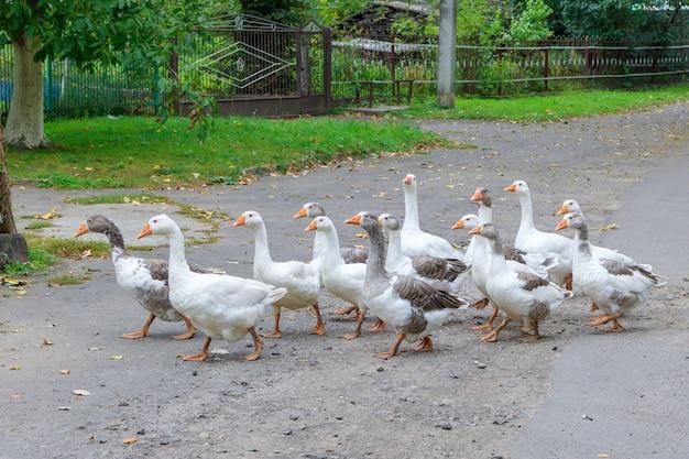 Troep van binnenlandse ganzen die langs dorpsweg lopen