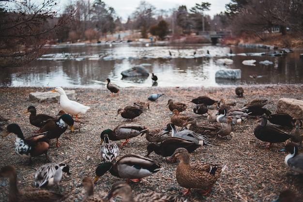 Troep van eenden dichtbij watermassa