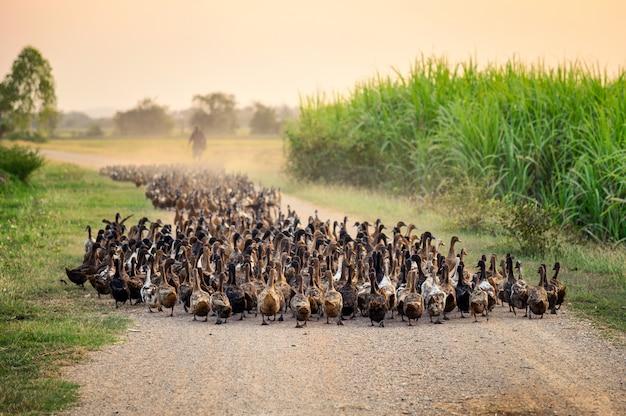 Troep van eenden met landbouwkundige die op onverharde weg hoeden