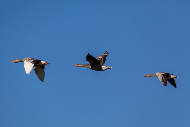 Troep van ganzen die onder blauwe hemel vliegen