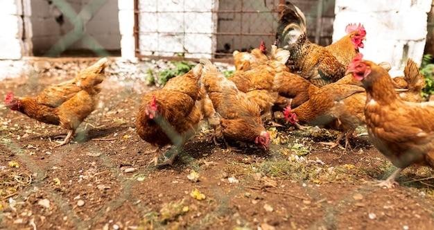 Troep van kippen die achter omheining eten