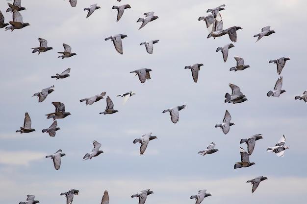 Troep van postduif die tegen wolken blauwe hemel vliegt