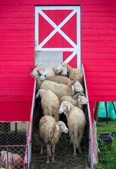 Troep van schapen die zich bij de ingang van schapen schuur bevinden