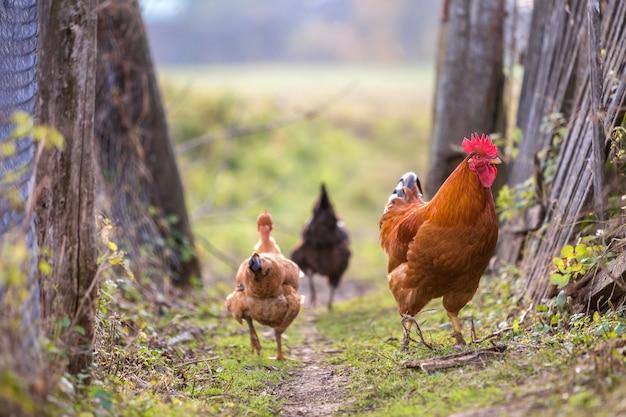 Troep van twee rode kippen en haan in openlucht op heldere zonnige dag op vage kleurrijke landelijk. landbouw van gevogelte, kippenvlees en eieren concept.