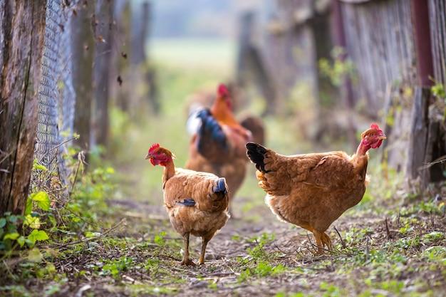 Troep van twee rode kippen en haan in openlucht op heldere zonnige dag op vage kleurrijke landelijke aard. landbouw van gevogelte, kippenvlees en eierenconcept.