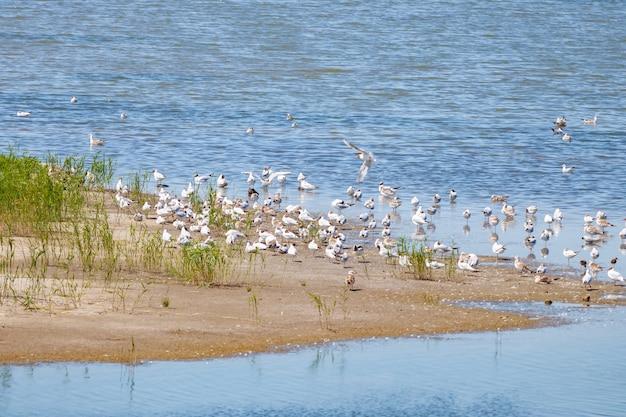 Troep van witte zeemeeuwen op de oever van het meer