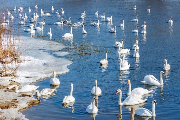 Troep van witte zwanen die op blauwe waterspiegel tegen ijzige kust zwemmen