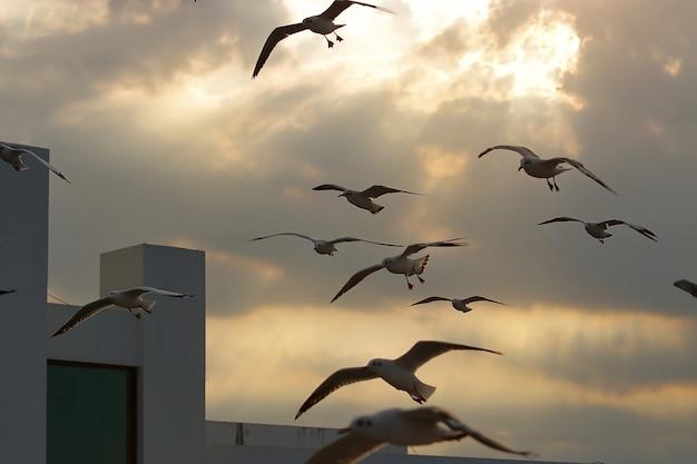 Troep van zeemeeuwen die op schemeringhemel vliegen tussen zonsondergang.