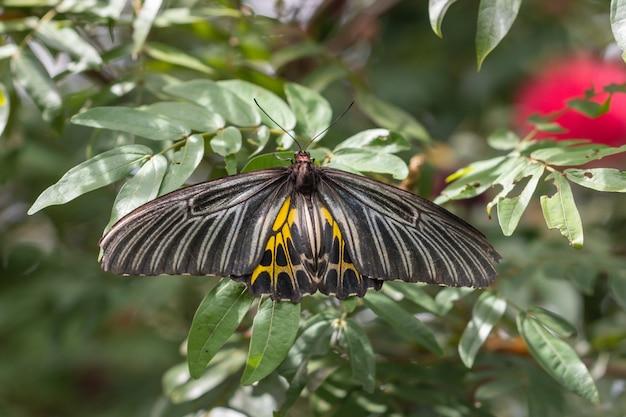 Troides aeacus vlinder op groene bladeren in de tuin. (troides rhadamantus of gouden vogelvleugel)