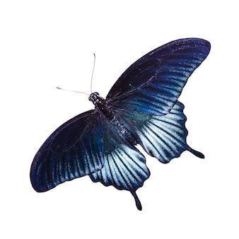 Tropisch blauw en zwart - vlinder die op witte achtergrond wordt geïsoleerd