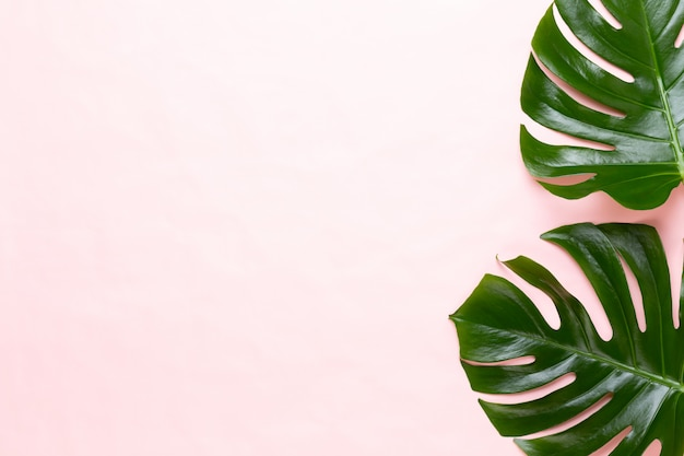 Tropisch jungle leaf, monstera, rustend op een vlakke ondergrond, op perzik.