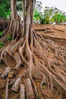Tropisch landschap met vijgenbomen met enorme wortels in balboa park san diego