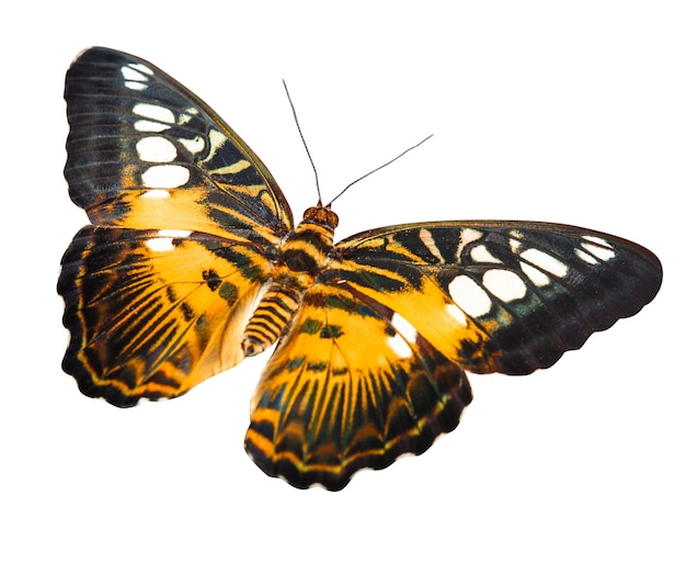 Tropisch oranje en zwart - vlinder die op witte achtergrond wordt geïsoleerd