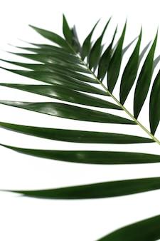 Tropisch palmblad op een witte achtergrond