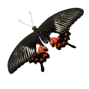 Tropisch rood en zwart - vlinder die op witte achtergrond wordt geïsoleerd