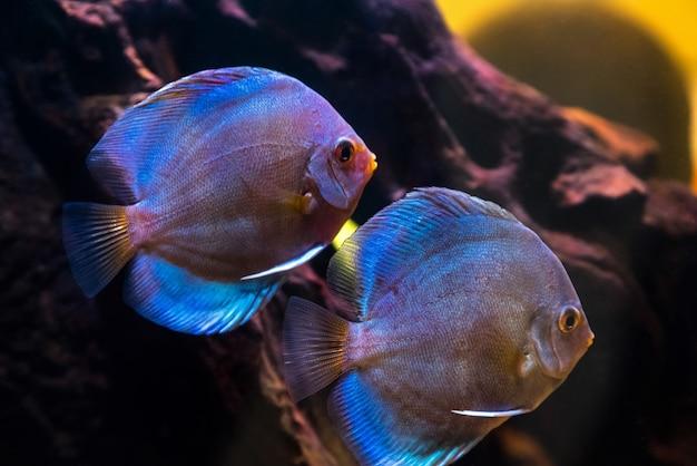 Tropisch zoetwateraquarium met prachtige kleurrijke vissen onder water.