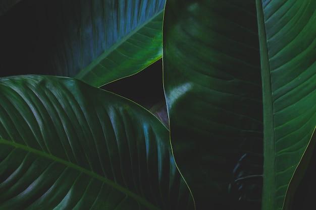 Tropische bladeren, grote bladeren, abstracte groene textuur, mooie natuurlijke achtergrond. Premium Foto