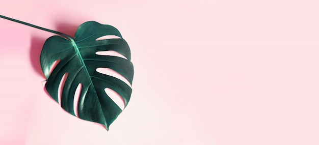 Tropische bladeren monstera op roze achtergrond.