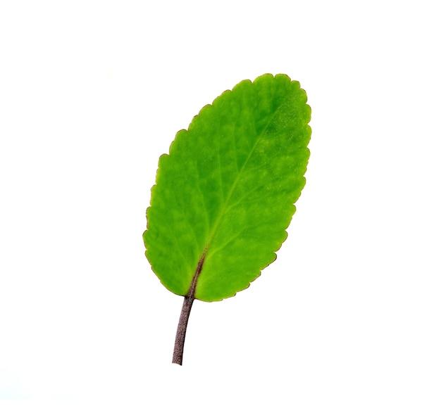 Tropische bladeren op wit