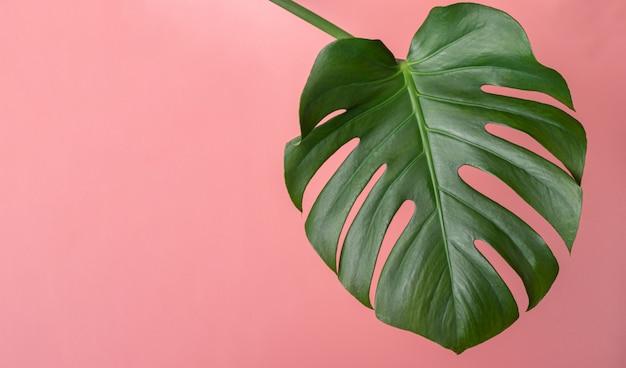 Tropische bladmonstera op roze