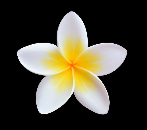Tropische bloemen frangipani geïsoleerd op een zwarte achtergrond.