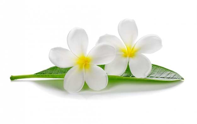 Tropische bloemenfrangipani (plumeria) die op witte achtergrond wordt geïsoleerd