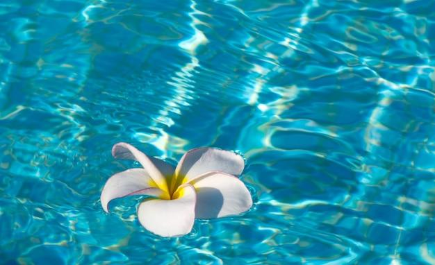 Tropische frangipanibloem die in blauw water drijft
