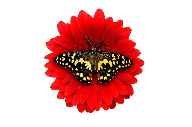 Tropische gele vlinder zittend op een rode gerberabloem. geïsoleerd op witte achtergrond