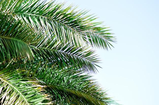 Tropische groene palmbladen en takken op blauwe hemel met kopie ruimte. zonnige dag, zomer concept. zon over palmbomen. reizen, vakantie.