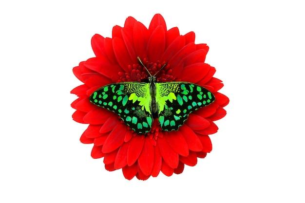 Tropische groene vlinder zittend op een rode gerberabloem. geïsoleerd op witte achtergrond