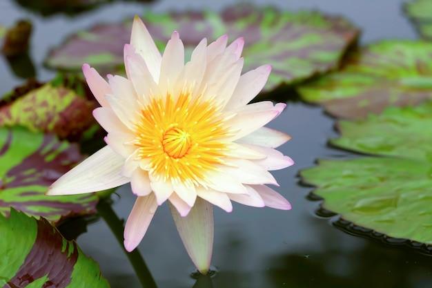 Tropische lotusbloemen