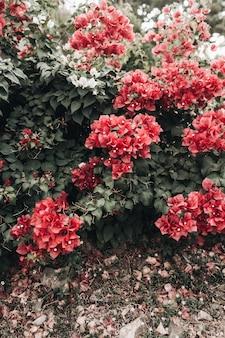 Tropische mooie dieprode bloemen bloeien op grote weelderige