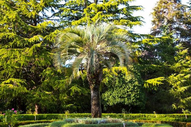 Tropische palmboom in het park, kerstbomen op de achtergrond. het concept van compatibiliteit van het onverenigbare, het concept van verschillende seizoenen in de natuur in één frame